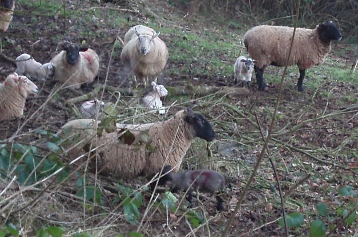 Lambs_galore